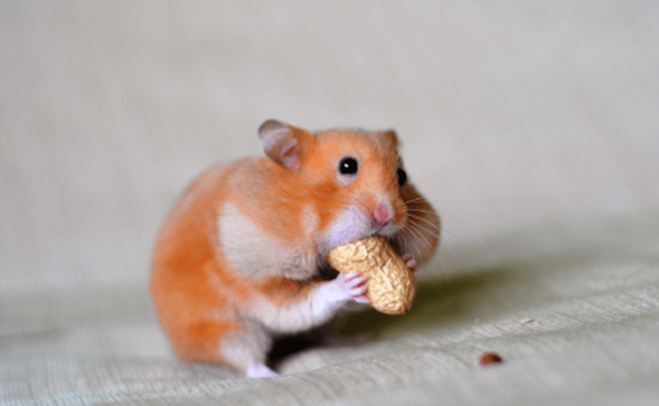 Image Of Hamster Cult