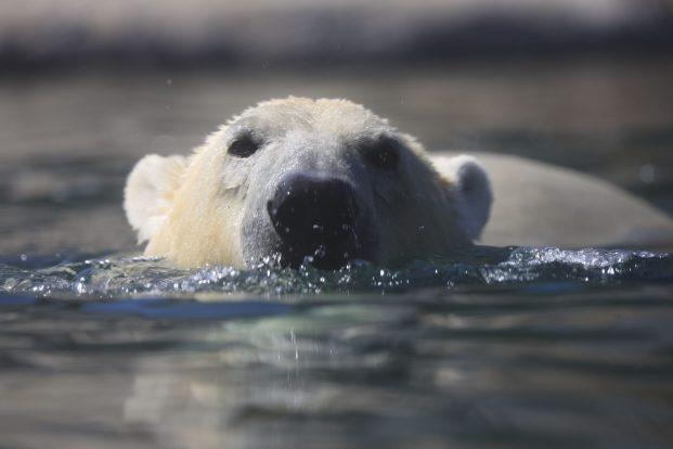 gros plan ours blanc PDZ