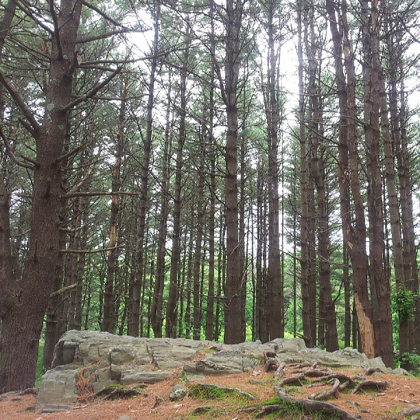 Forest in Maine.