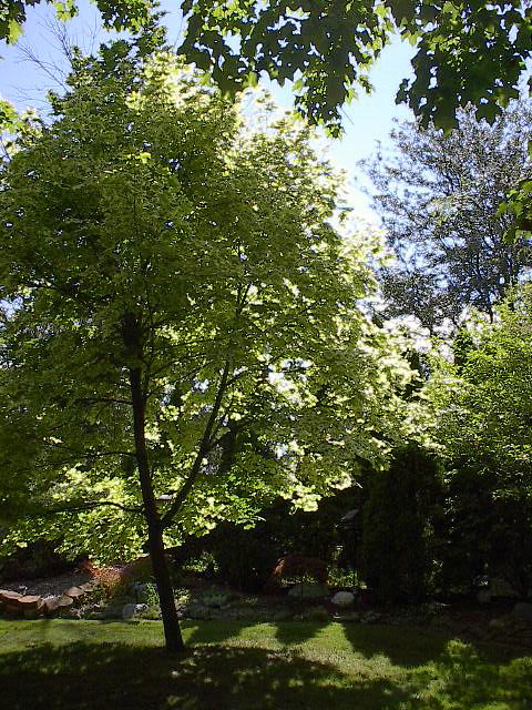 tree in Vermont summer light