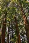 Muir Woods S11