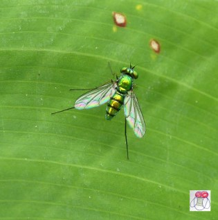 green-dolichopodidae-long-legged-fly-low-1