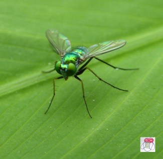 green-dolichopodidae-long-legged-fly-low-2