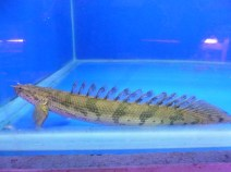Sea View Bichir