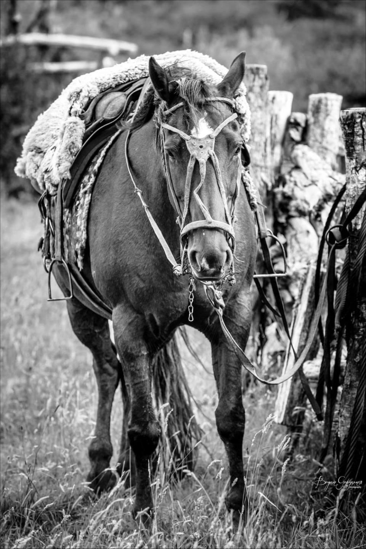 Argentina_ gaucho horse_Bryan Gregson