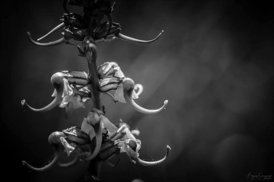 Elephant Head Plant_Bryan Gregson