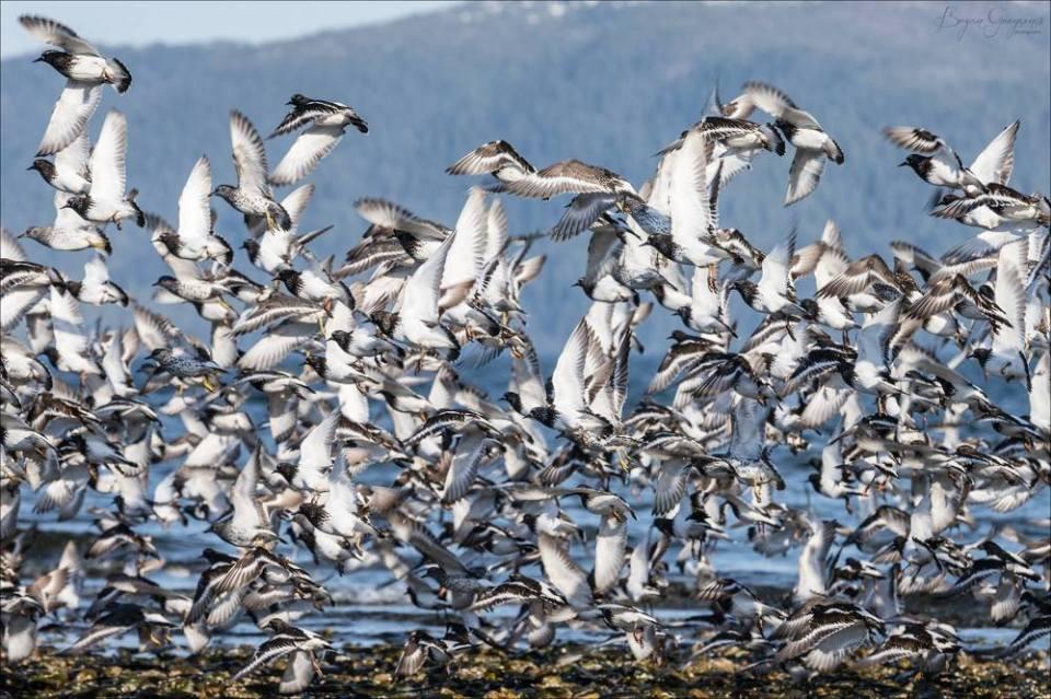 Shorebirds_South East Alaska_Bryan Gregson_hatch Outdoors