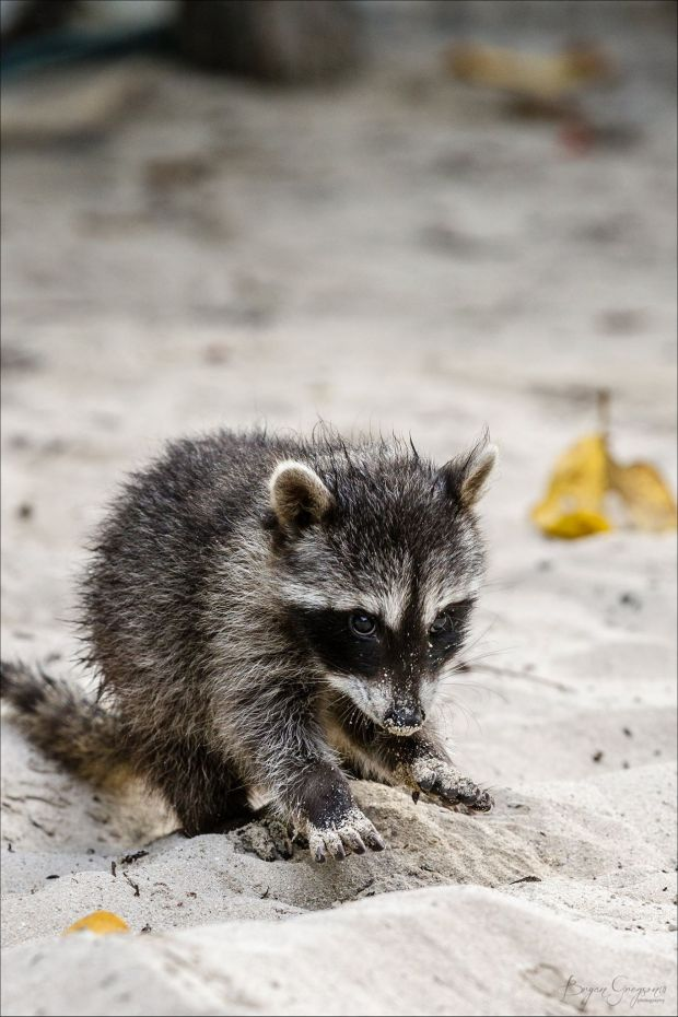 Yucatan_Raccoon_Bryan Gregson_Casa Blanca Fishing