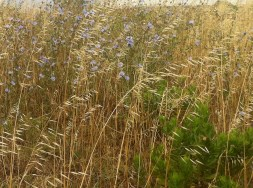 Dried grasses