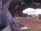 Tree Cadiz