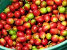 Coffee cherries at a farm near Arusha, northern Tanzania