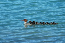 Mergansers, Katmai National Park.