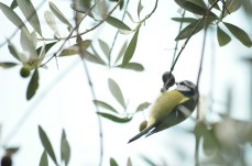 Bird in olive tree, Cinque Terre