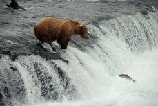 """Grizzly bear and salmon at Brooks Falls, Alaska from """"Stick to the Trail"""""""