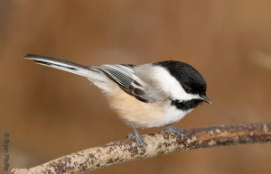 Black-capped Chickadee / © Bryan Pfeiffer