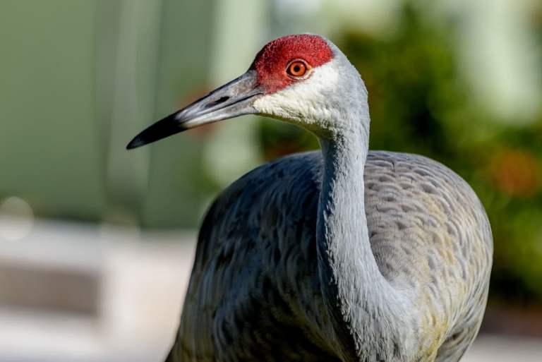 sandhill cranes