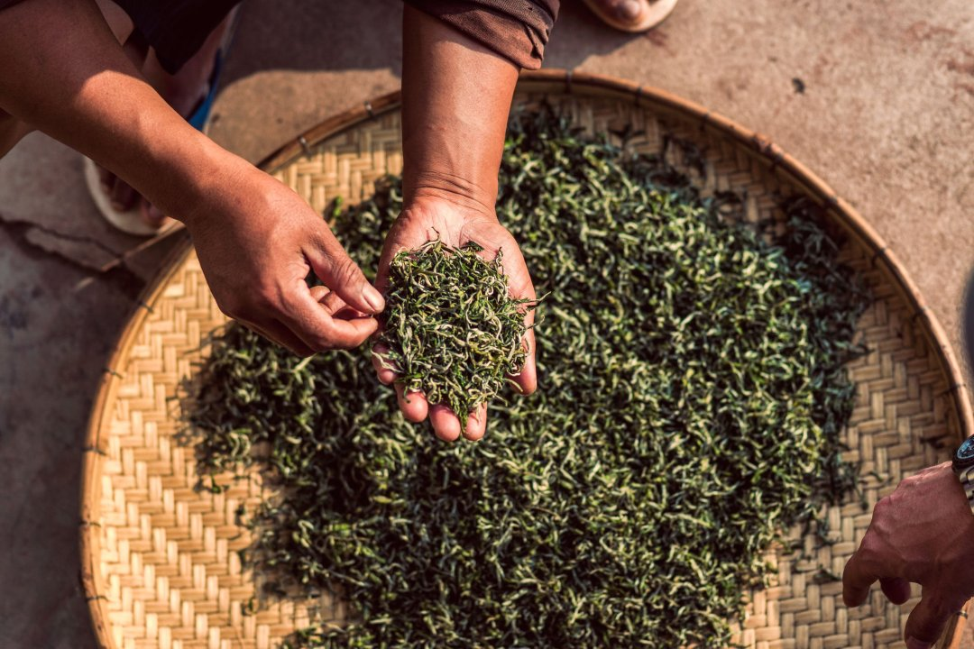 photo of Mr. Li inspecting tea on a farm in Yunnan, China