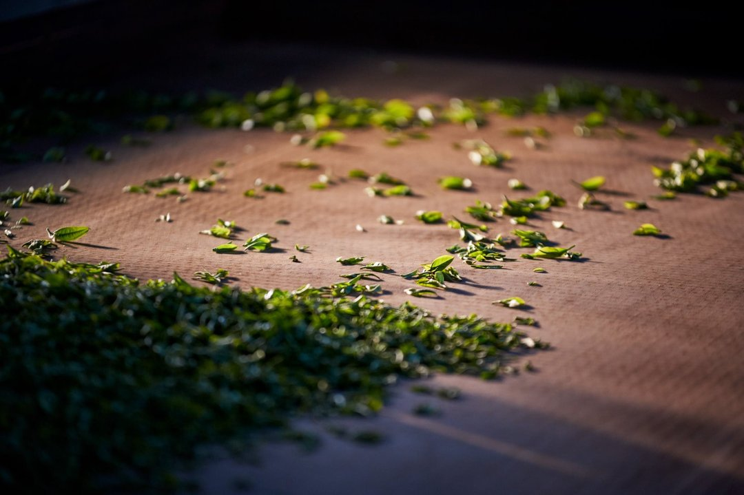 Photo of green tea drying on a farm in Yunnan, China