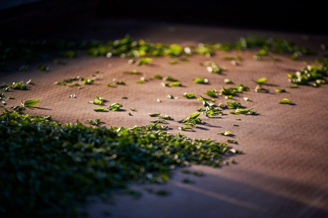 Photo of green tea drying on a farm in Yunnan, China