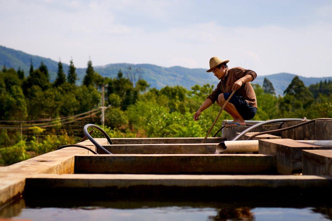 Photo of a farmer washing coffee beans from a fermentation tank on a farm in Yunnan, China.