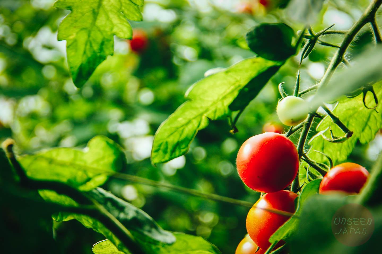 tokushima-tomatoes-farm