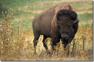 American_bison_k5680-1_thumb2.jpg