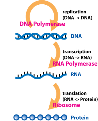 central_dogma_of_molecular_biochemistry_with_enzymes