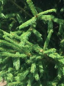 Norwegian Spruce