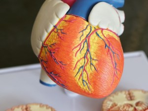 How the arteries and veins works