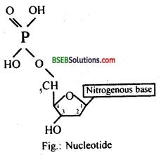 Bihar Board Class 12 Biology Solutions Chapter 6 Molecular Basis of Inheritance 6