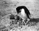 Pinguini perversi Scott Antarctic Expedition