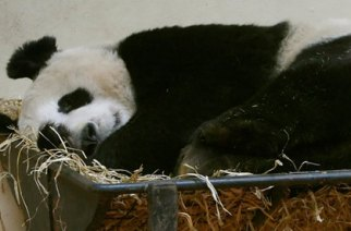 Tian Tian: why do we keep these wonderful creatures locked up? Photograph: Danny Lawson/PA