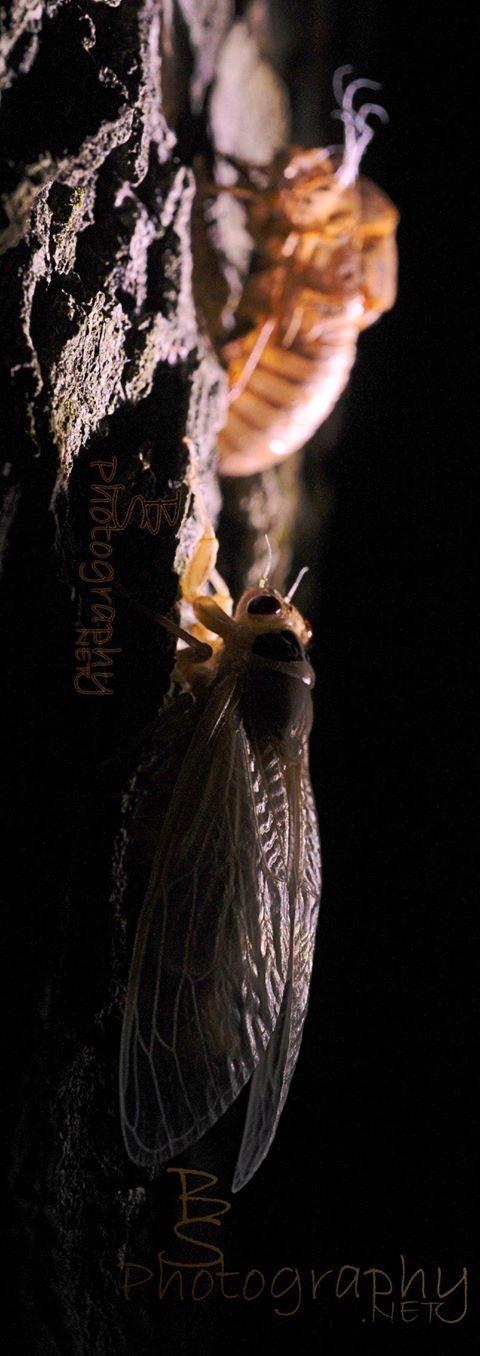 CicadaFB