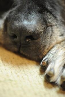 11 year old mastiff resting.