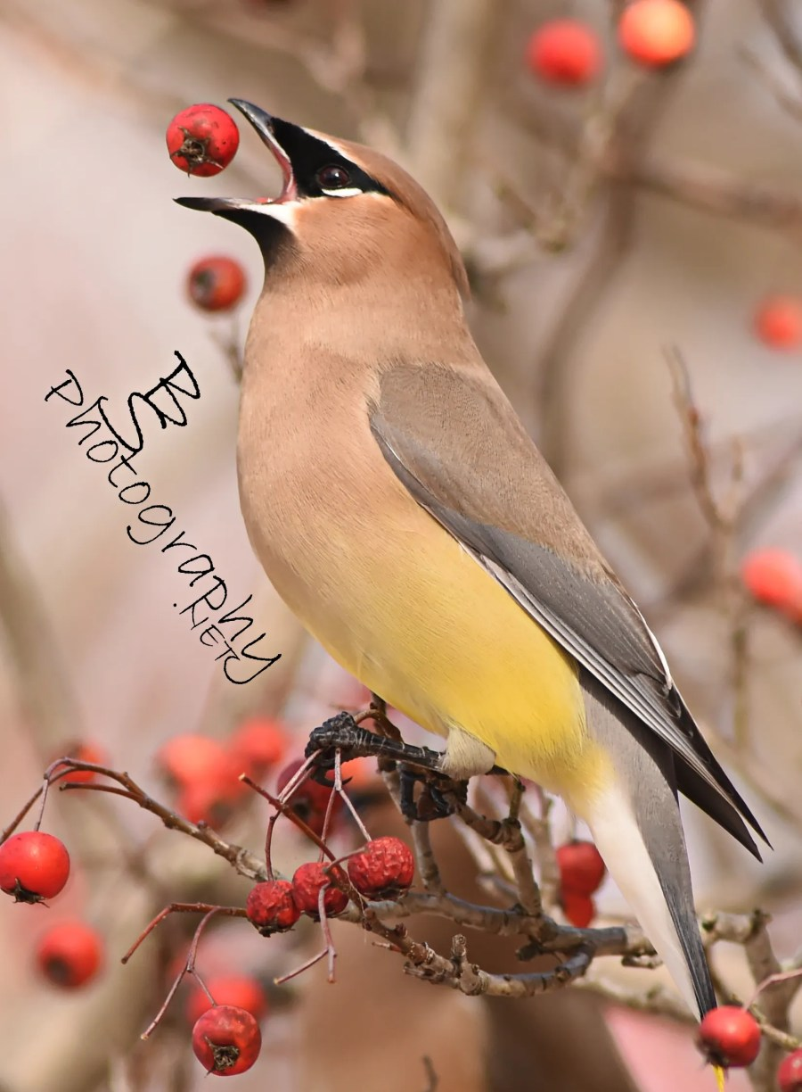 Waxwing Berry Flip by Bryan Sirotkin
