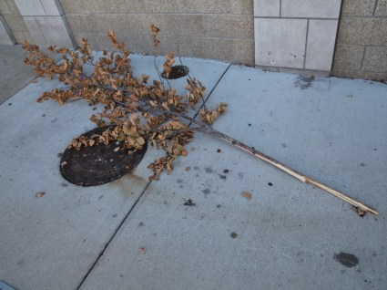 The upper portion of the tree rested a few feet away on the sidewalk. (Dave Askins/Beacon)