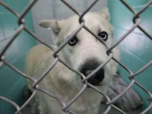 Doggo at Bloomington's animal shelter on Jan. 6, 2019 (Dave Askins/Beacon)