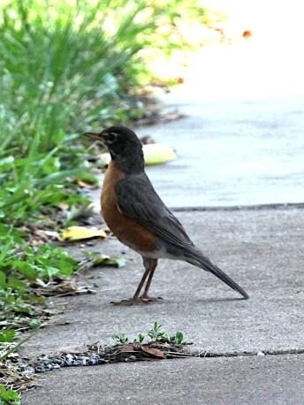 Healthy American robin (Turdus migratorius) on Washington Street in downtown Bloomington on July 10, 2021.