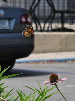 2021-07-18 butterflies IMG_4522
