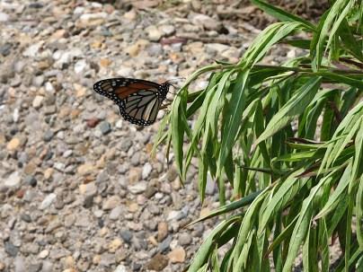 2021-07-18 butterflies IMG_4530