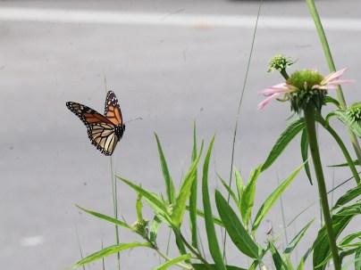 2021-07-18 butterflies IMG_4537