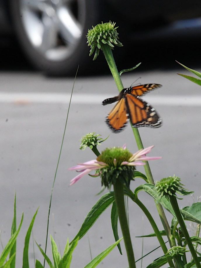 2021-07-18 butterflies IMG_4540