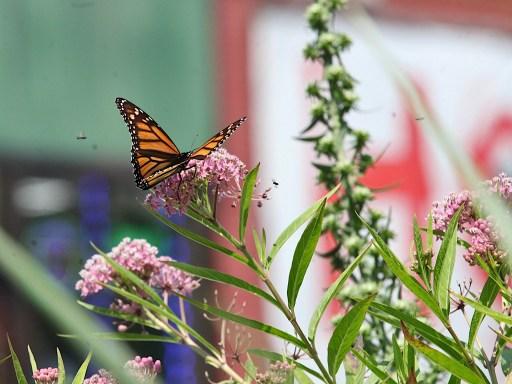 2021-07-18 butterflies IMG_4661