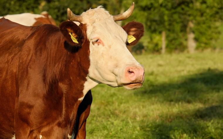 Sind Kühe Klimakiller?