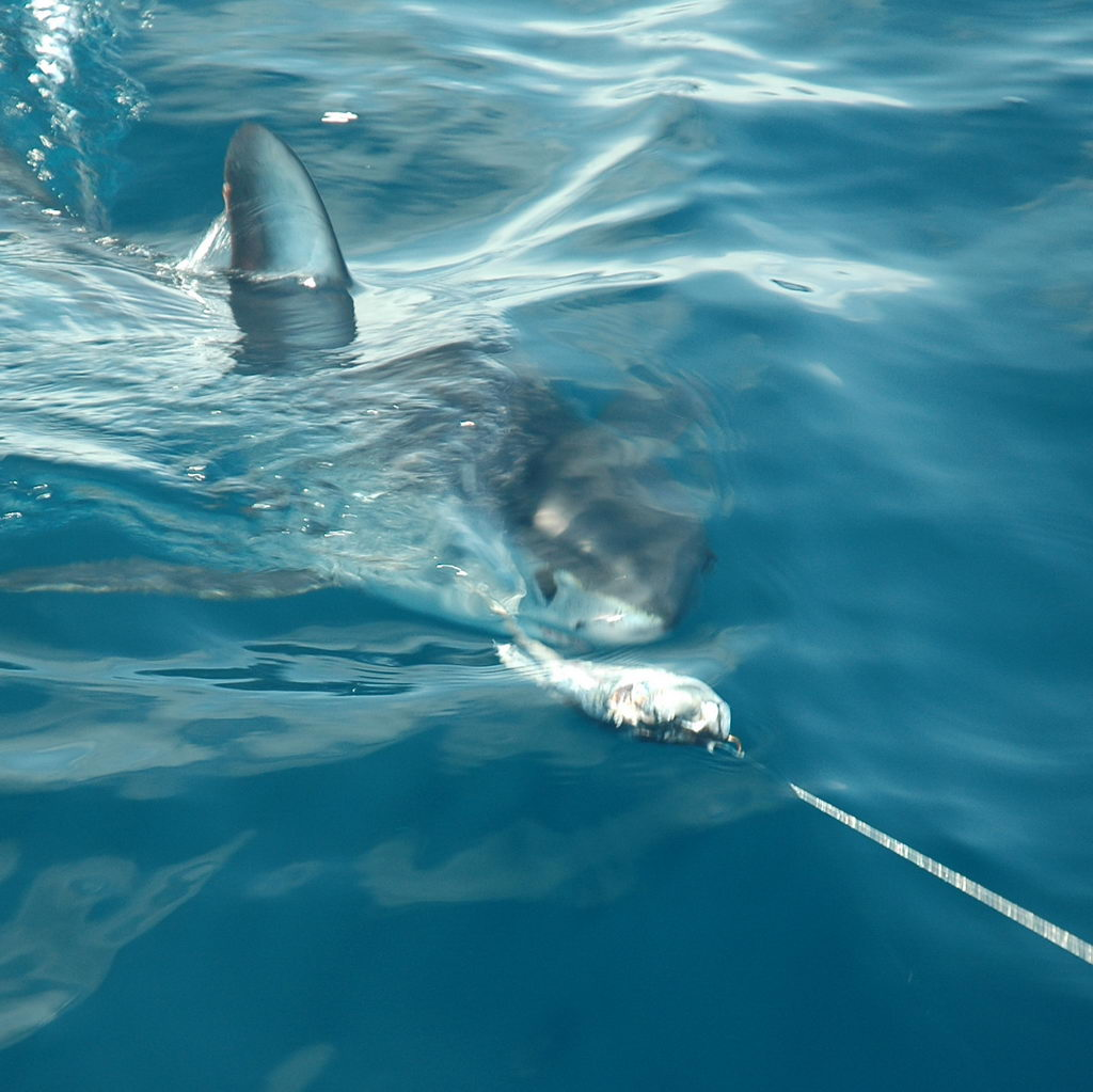 Visual shark fishing-using a teaser to excite makos