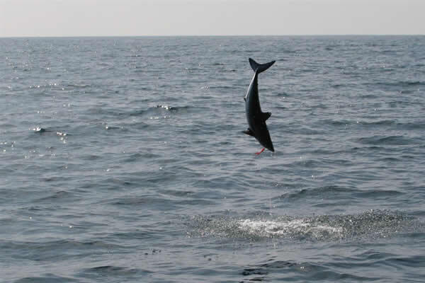 A successful shark fishing trip can result in awe-inspiring jumps!