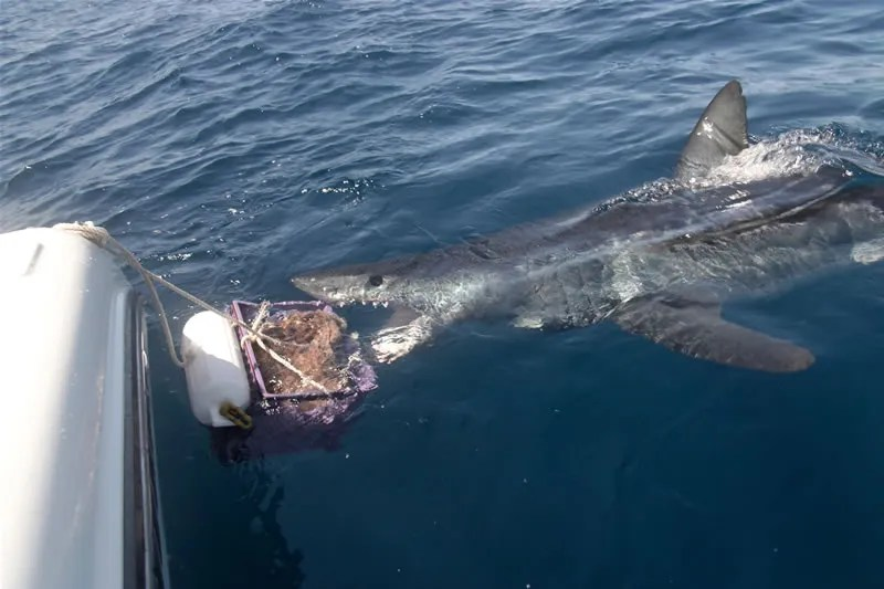 A BIG mako comes to the bucket. Courtesy Randall Bryett
