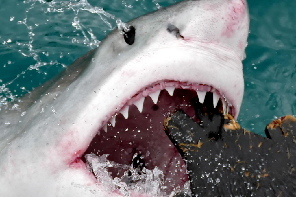 A great white's teeth are triangular