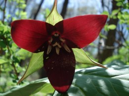 Red Trillium (Wakerobin). Blooms late April. Photo by Chris Federinko.