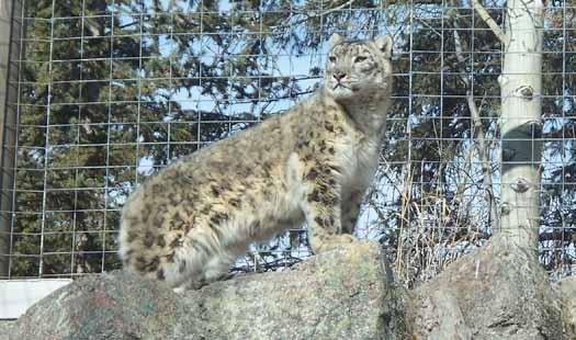 Calgary Zoo - Snow Leopard